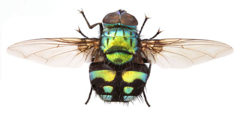 Image of fly Formosa moneta. Many of spectacular specimens like this are on display in the Museum's