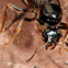 Queen flying ant, Lasius niger,