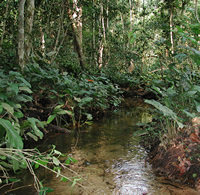 Forest creek habitat in the Congo basin where one of the African butterfly fish populations lives.