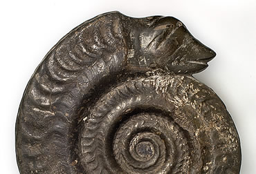 A snakestone ammonite fossil. Ammonites became extinct the same time as dinosaurs 65 million years a