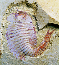 Whole animal, Fuxuianhuia protensa, fossil from Chengjiang site in China.