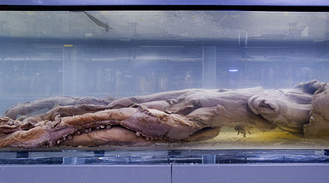 Archie is a rare complete giant squid specimen - there are few other examples.
