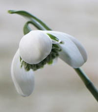 Snowdrop  Galanthus hippolyta is a hybrid between G. plicatus and G. nivalis 'flore pleno'.