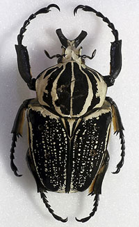 The goliath beetle, Goliathus goliatus, in the Museum's collections