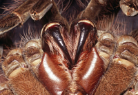 The 2cm-long fangs of the Goliath bird-eating spider, probably the longest of any spider.