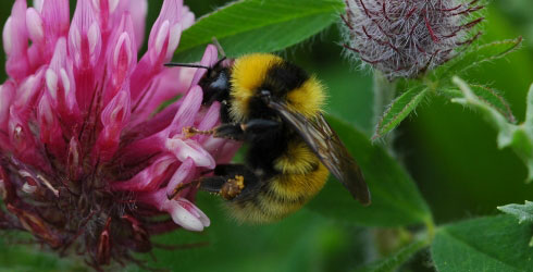 Great yellow bumblebee, Bombus distinguendus, is the first Species of the Day