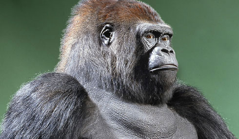 Guy the gorilla returns 33 years after his death for Museum exhibition Sexual Nature in February2011