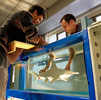 Shark model is placed into the flow tank