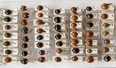 Tray of harlequin ladybirds at the Natural History Museum