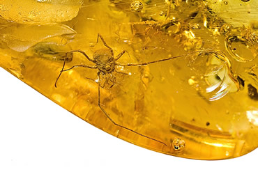 This rare specimen of a harvestman preserved in amber is 34-40 million years old.