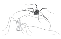Drawing of how the harvestmen may have looked 300 million years ago