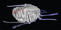 Image of one of the harvestmen (A. scolos) taken using the Museum's CT scanner.