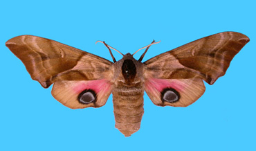 The Museum has raised enough money for a rare collection of more than 200,000 hawkmoths, like this