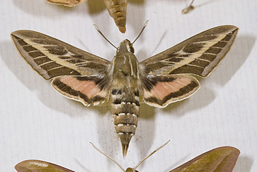 Some of the striking hawkmoths are on display from April to June 2009