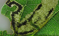 Leaf mine of the Heckford pygmy moth