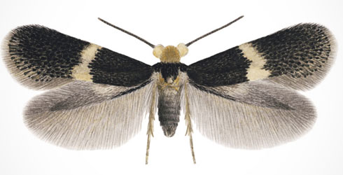 Heckford pygmy moth was named in early 2010 and was discovered by amateur naturalist Bob Heckford