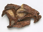 Adult heterodontosaurus skull from Natural History Museum collections