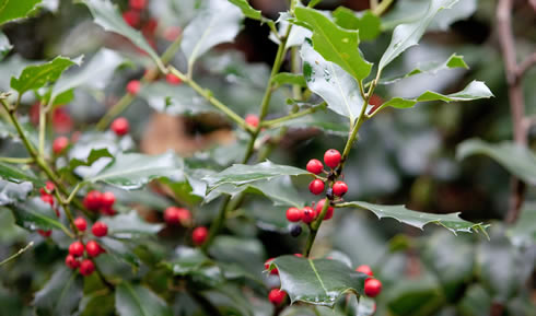 Holly is easy to spot so plot where you see it on the Urban tree survey map