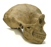 Homo erectus skulls are long and low and have a strong brow ridge.