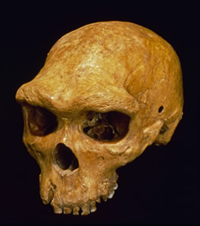Homo heidelbergensis skulls show a strong and continuous brow ridge.