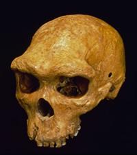 Fossil skull of Homo heidelbergensis.
