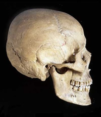 Homo sapiens skulls are high and rounded skull with a small brow ridge and bony chin.