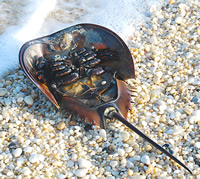 A horseshoe crab upside down. These animals have survived 4 of Earth's extinctions that wiped out mo