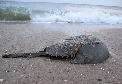 Horseshoe crabs seem indestructible - they have existed for at least 450 million years.