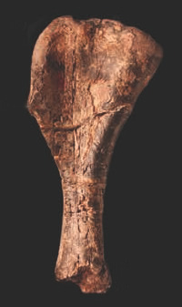 Fossil of the right humerus of Nyasasaurus parringtoni