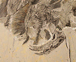 Hurdia fossil showing detail of gills just above one of the front claws
