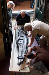 Staff move the 2-metre-long ichthyosaur skull in to the Lyme Regis Museum