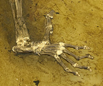 Close-up of fossil cast showing Ida's foot