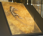 Ida fossil cast on display at the Museum