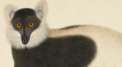 Ruffed lemur watercolour from the 19th century Chinese John Reeves collection
