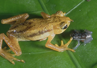 Kihansi spray toad adult and juvenile