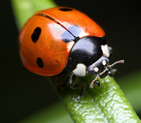 Hedges are home to many species of birds, mammals, and insects, such as ladybirds.