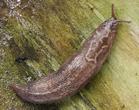 The large leopard slug is a gardener's friend. It eats other slugs.