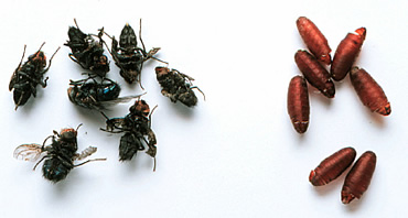 Newly emerged adult flies and their empty puparia.