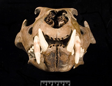 One of the two lion skulls with lower jaw excavated from the Tower of London moat in the 1930s.