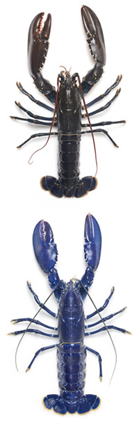 A typical European lobster is a dark blue colour, shown on top, and the electric-blue specimen below