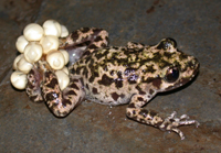 Mallorcan midwife toad. 41% of amphibian species are threatened and in the IUCN Red List.