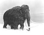 Illustration of a woolly mammoth, species Mammuthus primigenius