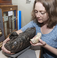 Dr Herridge with the dwarf mammoth tooth and a normal sized mammoth tooth