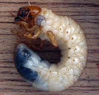 The larva, or grub, of the cockchafer can grow to up to 40mm.