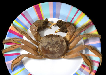 Chinese mitten crabs are an invasive pest in the River Thames and elsewhere in the UK.