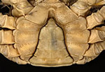 Narrow V-shaped abdomen of adult male Chinese mitten crab