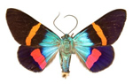 Usually found in Papua New Guinea, this colourful moth is a day-flying moth called  Milionia paradis