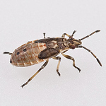 This mystery bug has not been seen in the UK before. It is an immature specimen, which is why it loo