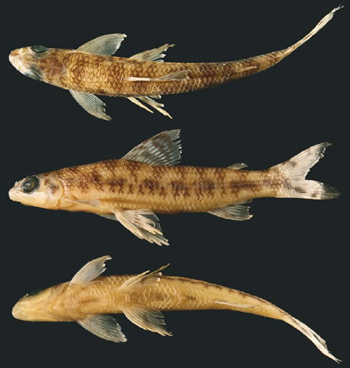 New African fish Nannocharax signifier