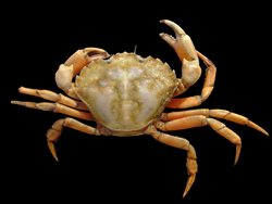 Native shore crab